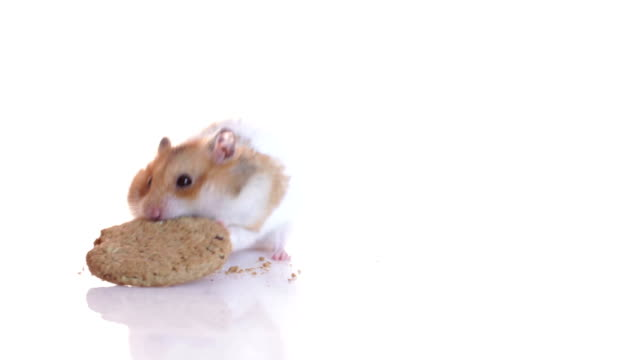 hamster and cookie - feeding stock videos & royalty-free footage