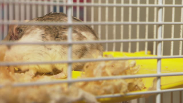 a hamster climbs into its cage. - käfig stock-videos und b-roll-filmmaterial