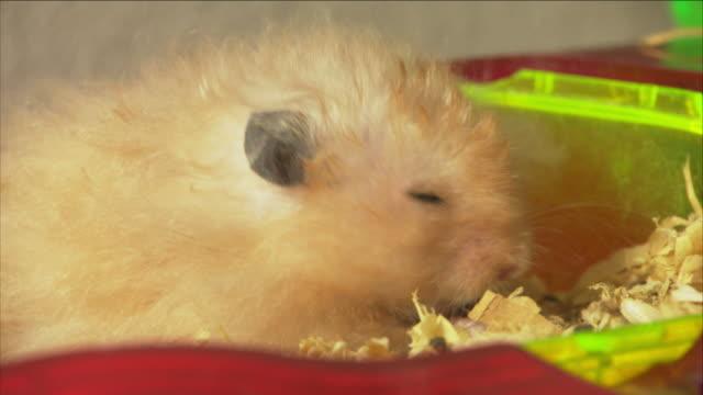 vídeos y material grabado en eventos de stock de a hamster eats dry corn. - hamster