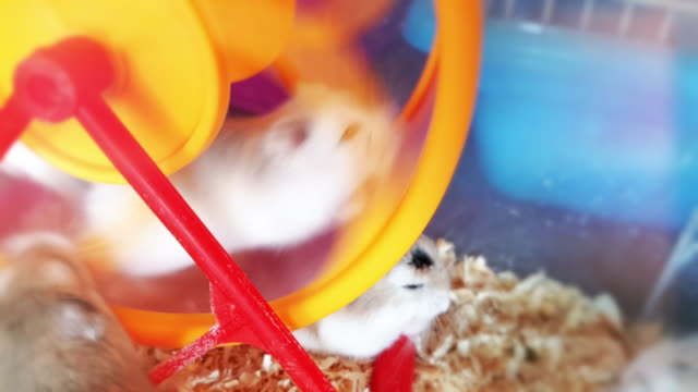 hamster in a wheel - pets stock videos & royalty-free footage