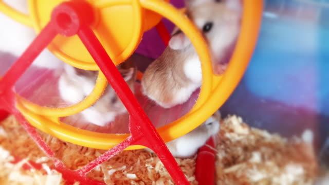 vídeos y material grabado en eventos de stock de hámster en una rueda - hamster