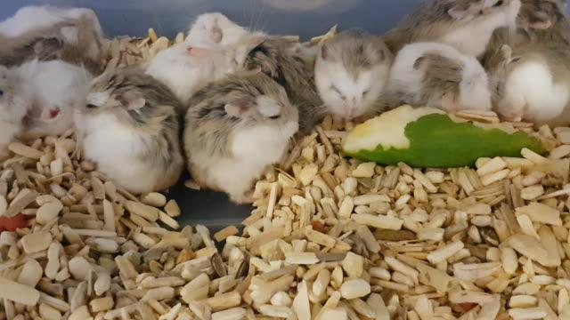 hamster maus gruppe pet schneiden - young animal stock-videos und b-roll-filmmaterial