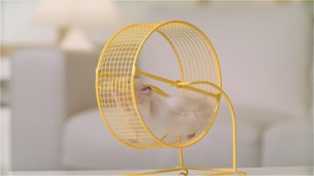vídeos y material grabado en eventos de stock de cu zo hamster running in wheel on living room table - hamster