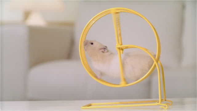 cu zi hamster running in wheel on living room table - wheel stock videos and b-roll footage