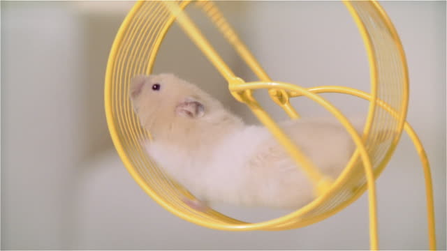 cu zo hamster running in wheel on living room table - wheel stock videos & royalty-free footage