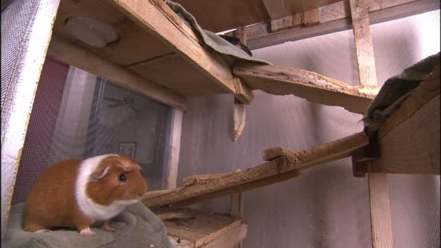 vídeos y material grabado en eventos de stock de a hamster scampers over wooden planks. - hamster