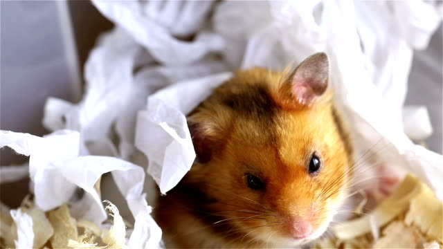 vídeos y material grabado en eventos de stock de hámster - hamster