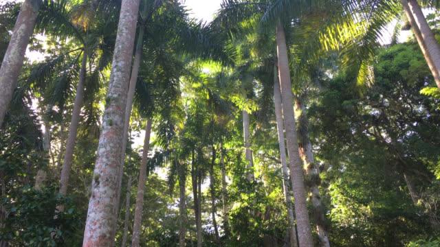 hanabanilla, tilt down of royal palms in 'la loma de la atalaya', cuba - tropical rainforest stock videos & royalty-free footage