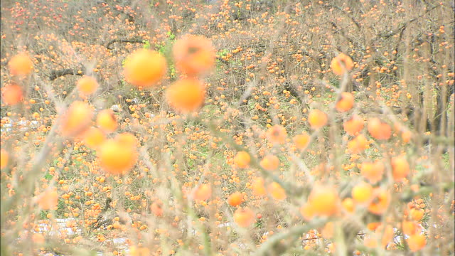 hanagosho persimmons ripen in an orchard. - citrus fruit stock videos & royalty-free footage