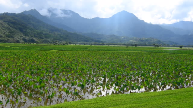 hanalei kauai hawaii scenic farms of taro plant with mountains in background 4k - pazifikinseln stock-videos und b-roll-filmmaterial