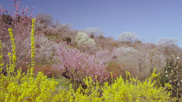 Hanamiyama Park in Fukushima