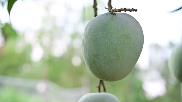 vídeos de stock e filmes b-roll de hand and big mango from my garden, mango from thai garden fresh mango from the tree mango with a sour taste fresh fruit from the tree - ramo parte de uma planta