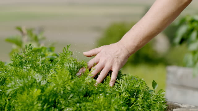 slo mo hand caressing fresh parsley plants - morbidezza video stock e b–roll