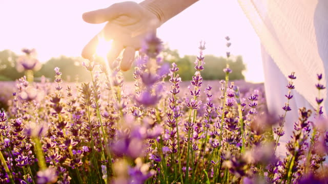 SLO MO Hand caressing lavender flowers at sunset