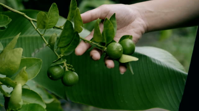 stockvideo's en b-roll-footage met cu: hand controleren lemon tree - boomgaard