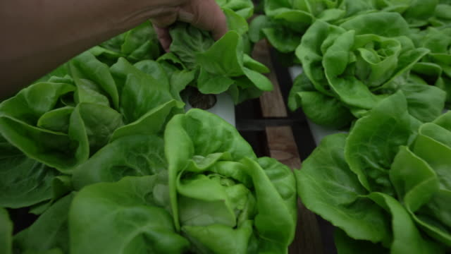 cu hand checking lettuce growing in a hydroponic farm - butter lettuce stock videos & royalty-free footage