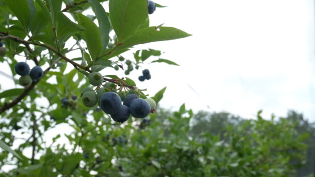 hand collects blueberries from a blueberry plant, pick your own - blueberry stock videos & royalty-free footage