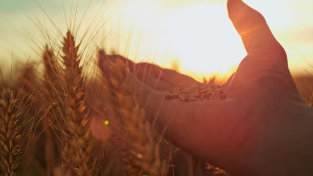 slo mo hand cupping wheat grains - orzo video stock e b–roll