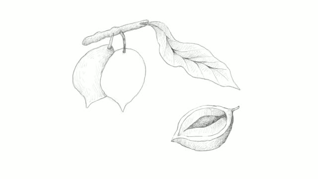 hand drawn of abiu fruits video clip - vitamin a nutrient stock videos & royalty-free footage