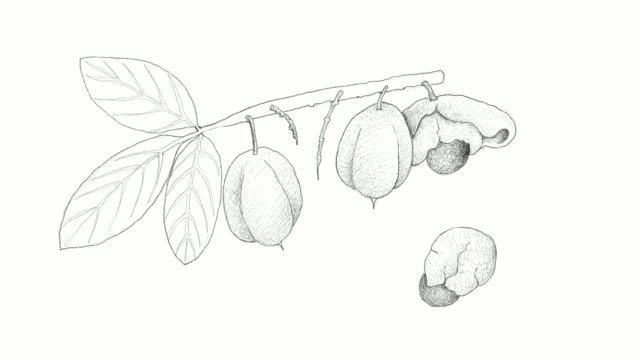 hand drawn of ackee fruits video clip - vitamin a nutrient stock videos and b-roll footage
