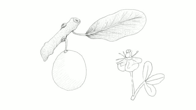 hand gezeichnet von afrikanischen mangostan-video-clip - klammer stock-videos und b-roll-filmmaterial