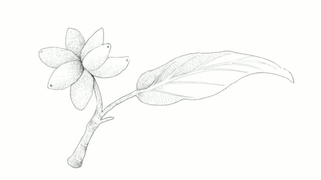 hand drawn of aglaonema simplex fruits video clip - vitamin c stock videos and b-roll footage