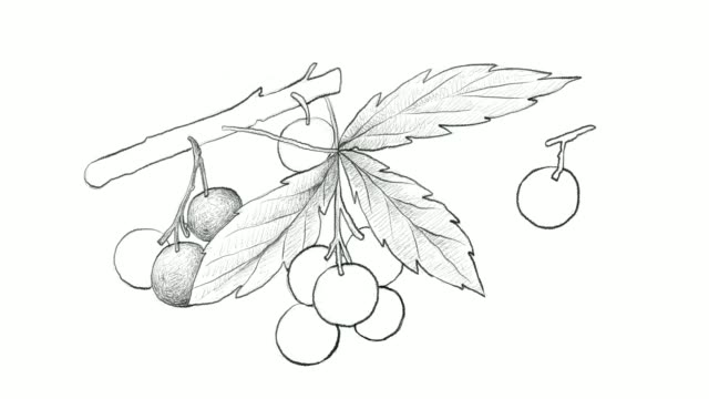 hand drawn of allophylus edulis fruits video clip - fruta stock videos & royalty-free footage