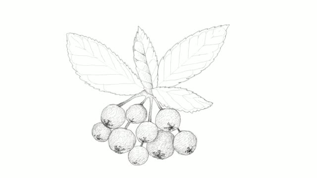 hand drawn of bitter berries or chokecherries video clip - vitamin a nutrient stock videos & royalty-free footage