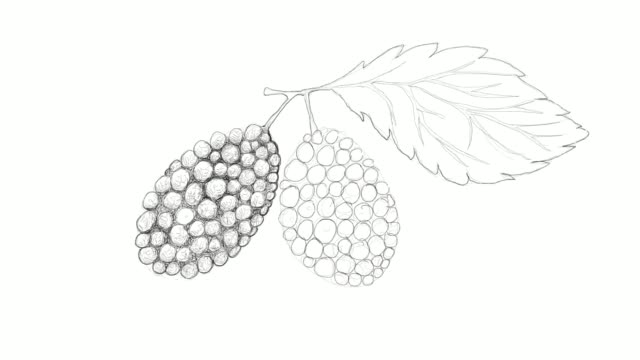 hand drawn of black mulberries video clip - vitamin c stock videos and b-roll footage