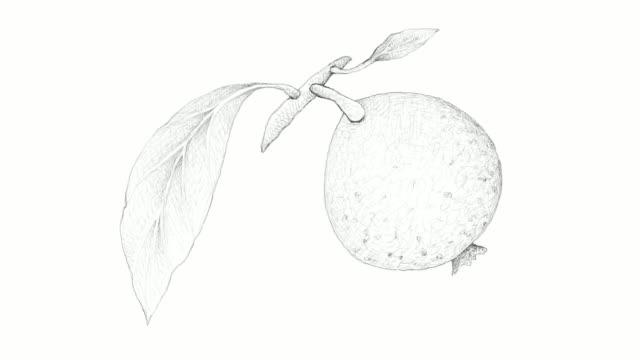hand gezeichnet von borojo oder alibertia patinoi früchte videoclip - klammer stock-videos und b-roll-filmmaterial