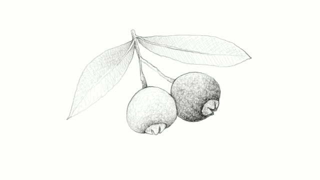 hand drawn of brush cherries video clip - vitamin c stock videos and b-roll footage