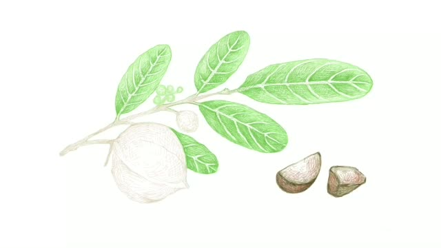 hand drawn of carapa guianensis fruits video clip - nutshell stock videos & royalty-free footage