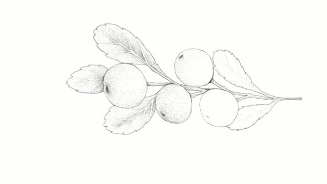 hand drawn of cerasus tianschanica fruits video clip - cranberry stock videos & royalty-free footage