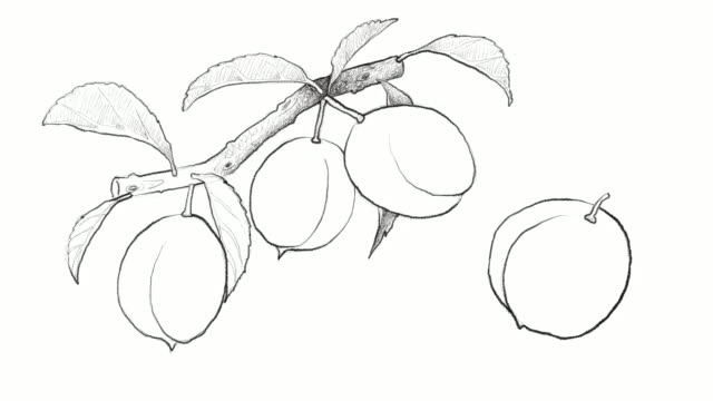hand drawn of chinese plums video clip - fruit tree stock videos & royalty-free footage