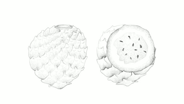 hand drawn of copao cactus fruits video clip - cactus drawing stock videos & royalty-free footage