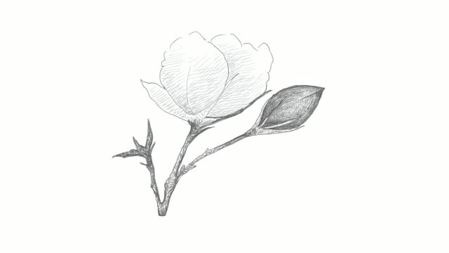 hand drawn of cotton flower with bud video clip - line art video stock e b–roll