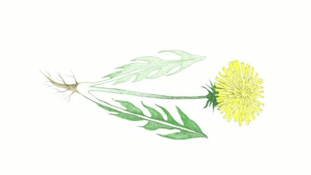 vidéos et rushes de hand drawn of dandelion plant vidéo clip - salade