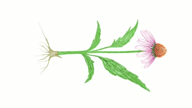 hand drawn of echinacea or coneflowers plant video clip - homeopathic medicine stock videos & royalty-free footage