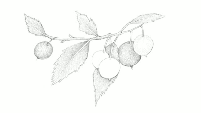 hand drawn of european nettle tree fruits video clip - nettle stock videos & royalty-free footage