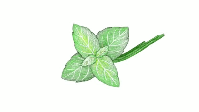 hand drawn of fresh basil plant video clip - basil stock videos & royalty-free footage