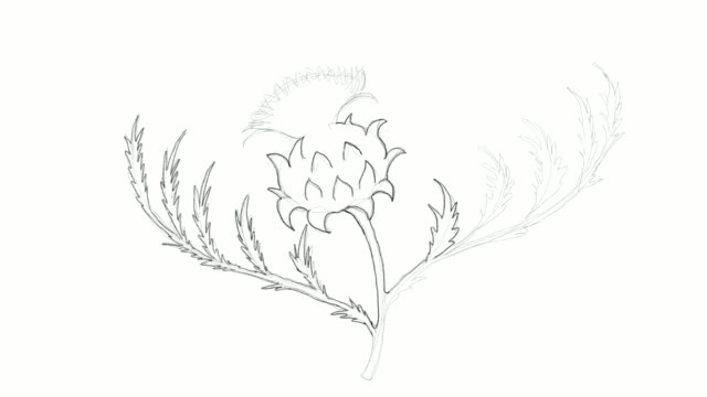hand drawn of fresh cardoon flower video clip - illustration technique stock videos & royalty-free footage