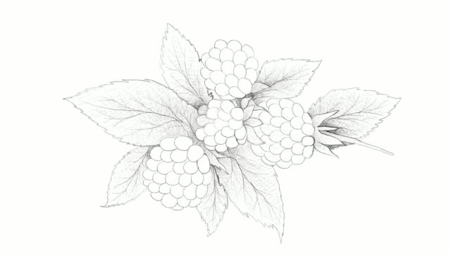 hand drawn of fresh dewberries video clip - vitamin a nutrient stock videos and b-roll footage