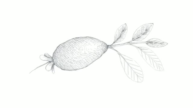 hand drawn of guavasteen fruit video clip - pear stock videos & royalty-free footage