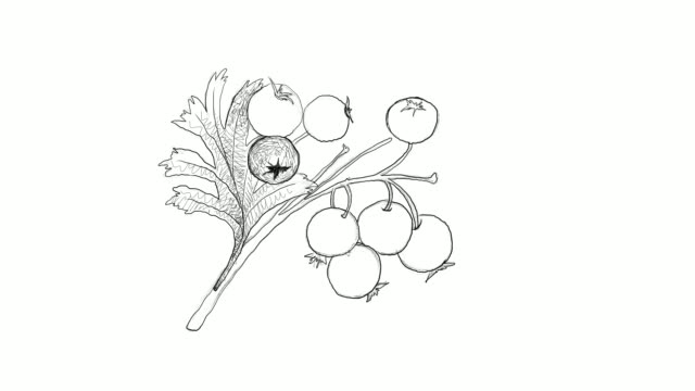 hand drawn of hawthorn berries video clip - illustration technique stock videos & royalty-free footage