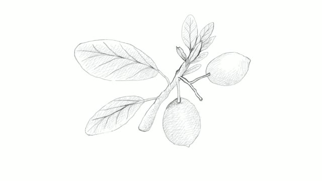 hand drawn of imbe or garcinia livingstonei fruits video clip - tropical fruit stock videos & royalty-free footage