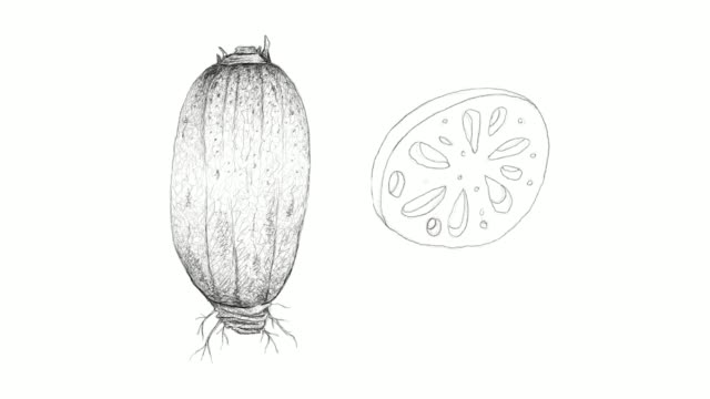 hand drawn of lotus root video clip - sacred lotus stock videos and b-roll footage