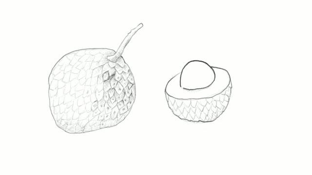 vídeos de stock e filmes b-roll de hand drawn of lychee fruits video clip - lichia