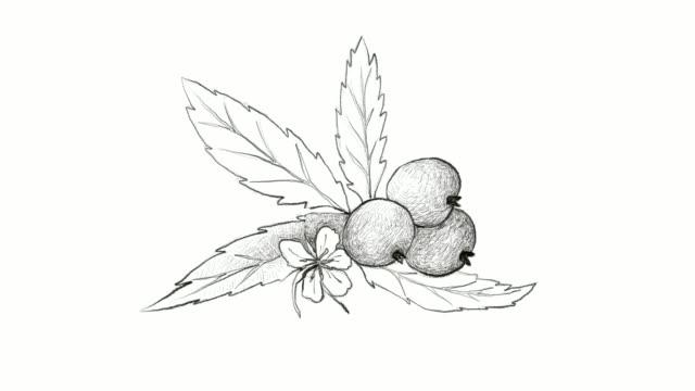 hand gezeichnet von muntingia calabura früchte videoclip - klammer stock-videos und b-roll-filmmaterial