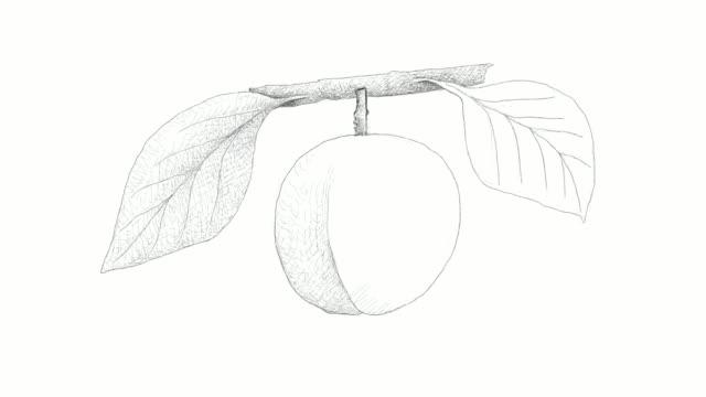 handgezeichnete pfirsich oder nektarine videoclips - mandel stock-videos und b-roll-filmmaterial