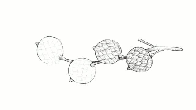 handgezeichnete rattan-früchte-video-clip - klammer stock-videos und b-roll-filmmaterial